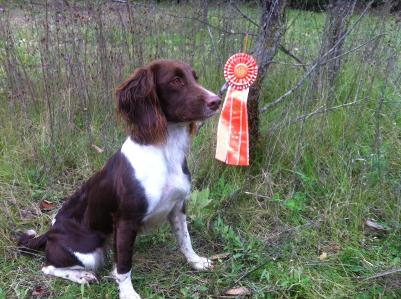 Josie's 2nd Master Pass at the Fox River Valley Field Spaniel Test in Ottawa, Wi Oct 19, 2013