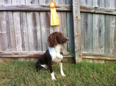 Josie's 1st Master Pass at the Missouri Hunting Spaniel Club test on Oct 5, 2013